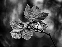 Glowing Sycamore (LindaShaws Images) Tags: leaf leaves growth new spring deciduous sycamore woodland jacksonsbank foliage blackwhite acerpseudoplatanus broadleaved uk bokha