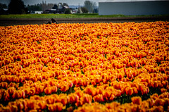 Skagit Valley Tulips-142 (RandomConnections) Tags: roozengaarde skagitcounty skagitvalley washington washingtonstate skagitvalleytulipfestival