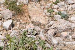 The proserpine (sauremmanuel) Tags: papillon butterflies proserpine nature white black color couleur mixed bush buisson montains