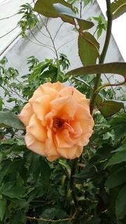rosas de otoño