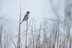Emberiza schoeniclus (kenta_sawada6469) Tags: bird birds nature winter japan aves wildlife emberizidae