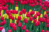 red tulips (Ulchiva) Tags: tulips background flower spring beautiful colorful red green garden nature pink field blossom bloom leaf bouquet color summer white beauty flora bright yellow natural close fresh plant floral petal closeup design park season purple 8may 9may victoryday agriculture bunch intensity day farm flowerhead flowerbed formalgarden growth highangle contrast multicolored newlife nopeople nonurbanscene open bulb rural single springtime stilllife vibrant vitality