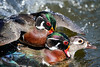 Wood Duck Mating Chaos (BernieErnieJr) Tags: woodduck drake female duck bernie duhamel colorado coloradowildlife wildlife frontrange greatphotographers teamsony rockymountains sonya9 sonyfe100400mm mating water splash reflection sunshine sun