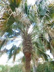 Livistona australis (sftrajan) Tags: valenciabotanicgarden livistonia tree botanicgarden jardínbotánicodelauniversidaddevalencia livistonaaustralis cabbagetree palmacol palmtree palmera botany arecaceae australianplants australianflora cabbagetreepalm livistoniaaustraliana fronds botanischergarten botaniskhave jardimbotânico españa spain valencia botanicalgarden jardíbotànic jardíbotànicdelauniversitatdevalència valència espanya