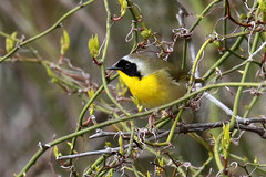 Common Yellowthroat, Male.....6O3A9634A (dklaughman) Tags: primehooknwr delaware yellowthroat bird
