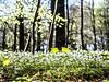 Anémones 1 (MRI2009) Tags: forêtdesoignes bruxelles brabant fleur nature anémone printemps