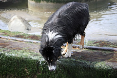 What's Down There? (JB by the Sea) Tags: sanfrancisco california april2018 fortfunston australianshepherd aussieshepherd aussie dog dash