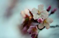 flower 1426 (kaifudo) Tags: sapporo hokkaido japan maruyamapark flower sakura wildcherrytreeblossom 札幌 札幌市 北海道 円山公園 ヤマザクラ nikon d810 sigmaapomacro150mmf28 sigma 150mm macro
