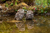 Do you come here often? 750_0240.jpg (Mobile Lynn) Tags: nature owls birds littleowl bird fauna strigiformes wildlife nocturnal otterbourne england unitedkingdom gb coth specanimal ngc coth5 npc