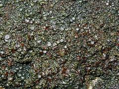 Vielfrüchtige Leimflechte - Collema polycarpon, NGIDn1063996181 (naturgucker.de) Tags: ngidn1063996181 naturguckerde vielfrüchtigeleimflechte collemapolycarpon 649561984 2128523129 945329452 chorstschlüter