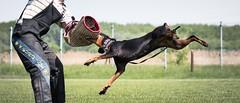 Swing (zola.kovacsh) Tags: outdoor animal pet dog ipo schutzhund dobermann doberman pinscher