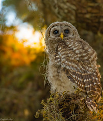 Barred owlet (agnish.dey) Tags: birding birdwatching bird birdsofprey baby owl owlet bokeh sunlight spring nature naturallight naturephotograph nikon tree portrait perched sky goldenhour florida wildlife animalplanet d500