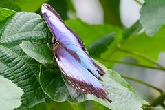 Common Morpho (dpsager) Tags: butterfly chicago dpsagerphotography illinois judyistockbutterflyhaven peggynotebaertnaturemuseum commonmorpho