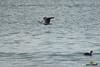 A-LUR_4813 (OrNeSsInA) Tags: trasimeno byrd passignano lago castiglionedellago perugia umbria toscana nature ornessina lucarosi