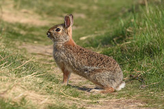 Rabbit (aj4095) Tags: rabbit nature wildlife outdoor animal spring