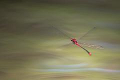 Pseudagrion pilidorsum (tarjangz) Tags: pseudagrion pilidorsum philippines bohol odonata zygoptera damselfly wings flying nature red