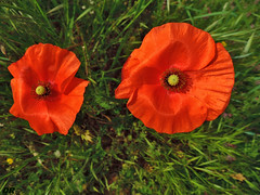 coquelicots (danie _m_) Tags: naturepic flowerpower wildflowers beautiful macro flowers red poppies nature fleurs coquelicots