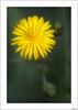 ¿Orden y progreso? (V- strom) Tags: naturaleza nature macrophotography macrodeflora macros amarillo verde green yelow petals pétalos texturas nikon105mm nikond700 nikon estambres stamens vstrom luz light primavera spring flor flower macrofotografía