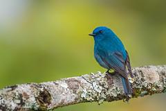 Nilgiri flycatcher (shoothekuruvi) Tags: bird birds indianbirds wildlife photography nilgiri westernghats india endemic