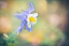 Aquilegia (Ro Cafe) Tags: flower aquilegia blue garden nature selective focus bokeh colorful pastelcolours closeup 52semanas52palabras naturaleza outdoors naturallight nikkor2470f28 nikond600