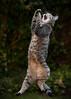 'Double Jump' (Jonathan Casey) Tags: cat domestic action jumping nikon d850 sigma 135mm art