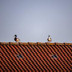 Zwei Erpel auf dem Dach (p.schmal) Tags: panasonicgx80 hamburg farmsenberne erpel