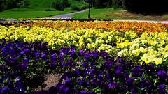 Szivárványos virágszőnyeg (Szombathely) (milankalman) Tags: colors flower spring nature park