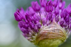 Allium. (agnieszka.a.morawska) Tags: manualfocus manuallens beyondbokeh bokehlicious bkhq helios44m helios kwiat allium flower macro dof
