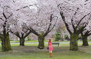 Cherry blossoms Vancouver