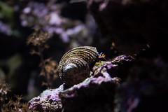 hermit crab (giorgosAnk) Tags: hermit crab animal wild wildlife nature aquarium aquantic shell closeup outdoors rock sea seashell underwater lisbon tank water alive shellfish mollusk marine invertabrate
