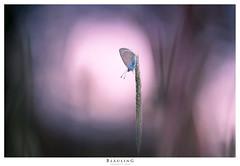 Rotklee- Bläuling (Markus1224) Tags: rotkleebläuling polyommatus semiargus schmetterling butterfly bläuling sonnenuntergang sunset nikon d750 lycaenidae mazarine blue makro macro badenwürttemberg germany schwäbische alb bokeh