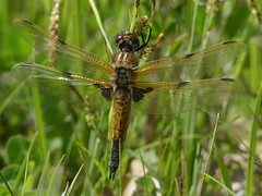 Four-spotted Chaser (ukstormchaser (A.k.a The Bug Whisperer)) Tags: fourspotted chaser chasers uk dragonfly dragonflies fly flies animal animals wildlife milton keynes buckinghamshire