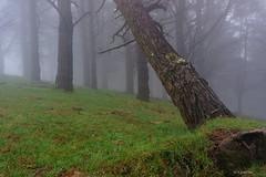 Entre los pinos (Carpetovetón) Tags: niebla fog pino pinar bosque paisaje verde hierba sonya6000 árbol neblina