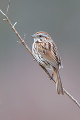 Song Sparrow. (mandokid1) Tags: canon 1dx ef400mmdoii birds