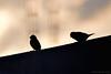 Week 19/52, 2018. (Gaviotita) Tags: 52weeks2018 birds pájaros nikon nikond3200 55300mm backlighting contraluz méxico sanluispotosí