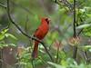 Proud Cardinal (MarcBphotos) Tags: cardinal bird bokeh flowers forest trees leaves fujinon 55200 f48