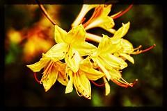 Yellow. #arboretum #washington #washingtondc #nationalplace #dcgarden #nationalgarden #usda #Canon #realcamera #rebelxs #Canon #EFS60mm #macro  #flower #flowersofinstagram (Kindle Girl) Tags: rebelxs arboretum washington washingtondc nationalplace dcgarden nationalgarden usda canon realcamera efs60mm macro flower flowersofinstagram