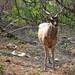 Free roaming deer, Menjangan Island, Bali