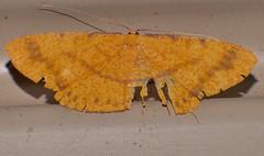 Speckled rustic gold Moth Eumelea sp Oenochrominae Geometridae Airlie Beach rainforest P1290623 (Steve & Alison1) Tags: speckled rustic gold moth eumelea sp oenochrominae geometridae airlie beach rainforest