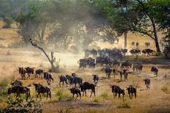 The Great Migration, Serengeti, Tanzania, June 2017 (Catherine Gidzinska and Simon Gidzinski) Tags: 2017 africa mara mararegion tanzania animal animals dust groupofanimals migration wildebeest wildebeestmigration 7dwf ngc gnu