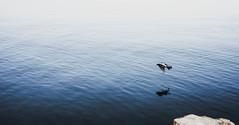 Niechorze (danieltroczynski) Tags: niechorze sea morze ptak kruk plaża sonya6000 samyang35mm