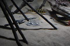 White Blotched River Stingray (Adventurer Dustin Holmes) Tags: 2018 wondersofwildlife fish whiteblotchedriverstingray stingray riverstingray animal animals aquatic animalia chordata underwater