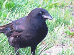 IMG_7087 (kennethkonica) Tags: nature birds animalplanet animal animaleyes autumn canonpowershot canon usa america midwest indianapolis indiana indy color outdoor wildlife crow grass green black