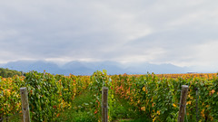 Mountains and vines (Wicked Dark Photography) Tags: argentina landscape clouds grapevines mountains sky travel vacation vines vineyard winery