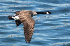 Canada goose in flight (Andrew Reding) Tags: brantacanadensis brantacanadensisparvipes