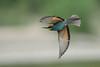 Guêpier d'europe (guiguid45) Tags: nature sauvage oiseaux bird loire loiret d810 nikon 500mmf4 méropidé guêpierdeurope vol affût meropsapiaster europeanbeeeater