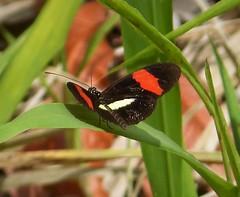 Heliconius erato petiverana (Crimson-patched Longwing) (gailhampshire) Tags: heliconius erato petiverana crimsonpatched longwing taxonomy:trinomial=heliconiuseratopetiverana panama lepidoptera butterfly moth explored