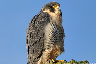 2014-02-26 Peregrine Falcon (14) (1024x680)