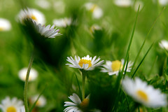 blossoming meadow (nelesch14) Tags: macro nature summer soring flower blossom daisy green meadow white hidden leaves