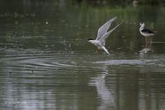_JRH1971 (jeanrene31240) Tags: oiseaux sternes sternespierregarin occitanie domainedesoiseaux mazères ariège aprèslaplongée